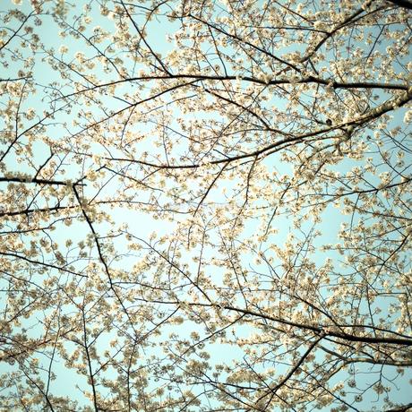 桜③の素材 [FYI00043817]