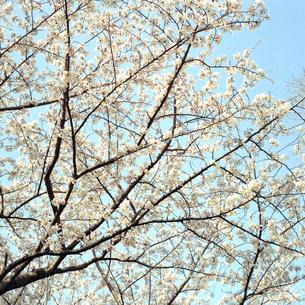 桜④の素材 [FYI00043823]