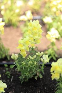 黄色い金魚草の写真素材 [FYI00043825]