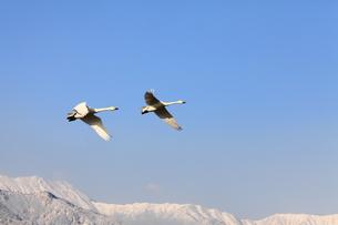 青空を飛ぶ白鳥の写真素材 [FYI00043984]