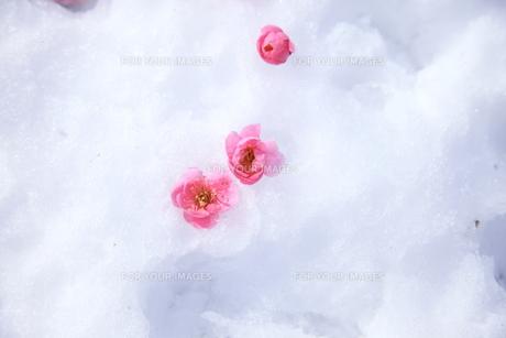 梅の花と雪との素材 [FYI00043996]