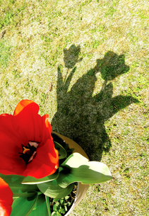 影咲くチューリップの写真素材 [FYI00044018]