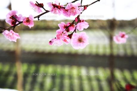 安曇野の春 わさび田と梅の花の素材 [FYI00044027]