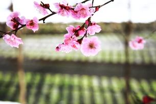 安曇野の春 わさび田と梅の花の写真素材 [FYI00044027]