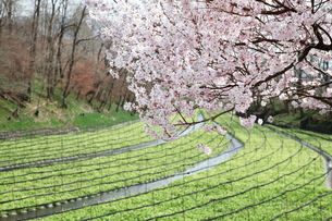 安曇野の春の写真素材 [FYI00044032]