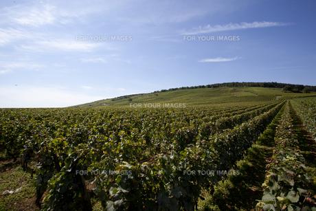 フランスのブドウ畑の素材 [FYI00044238]