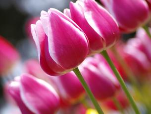 ピンクのチューリップの素材 [FYI00044479]