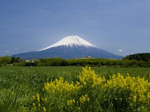 富士山と菜の花の素材 [FYI00044499]