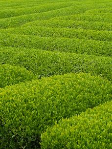 静岡県の茶畑の素材 [FYI00044537]