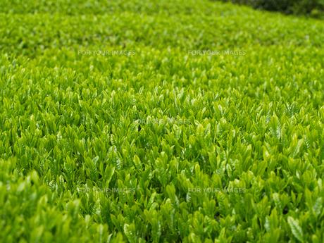 新緑の茶葉の素材 [FYI00044538]