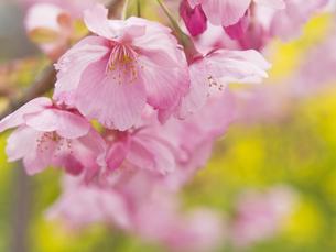 桜と菜の花の素材 [FYI00044551]