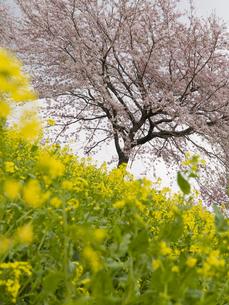 桜と菜の花の素材 [FYI00044552]