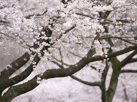 満開の桜の花の素材 [FYI00044602]