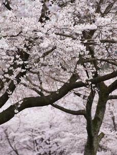 満開の桜の花の素材 [FYI00044603]