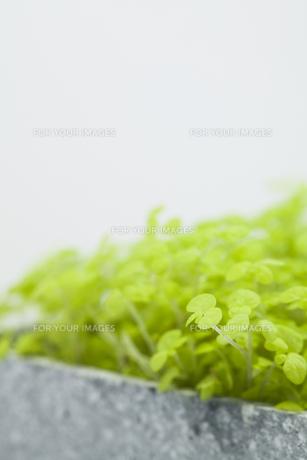 ソレイロリアの葉の素材 [FYI00044633]
