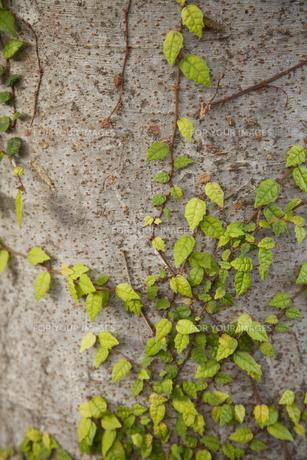 木を這う蔦の素材 [FYI00044777]