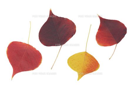 ナンキンハゼの葉の素材 [FYI00044778]