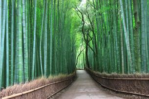 竹林の写真素材 [FYI00045074]