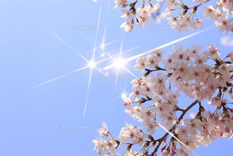 桜の素材 [FYI00045678]
