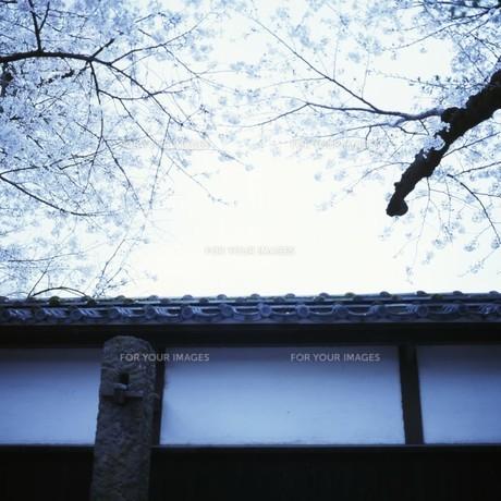 お城の塀と桜の写真素材 [FYI00045946]