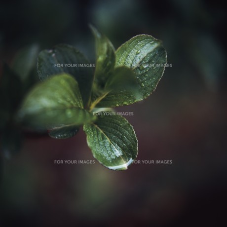 雨と新芽の写真素材 [FYI00045948]