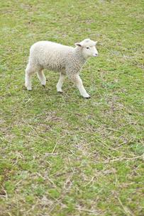 牧場の芝生を歩く子羊の写真素材 [FYI00046047]