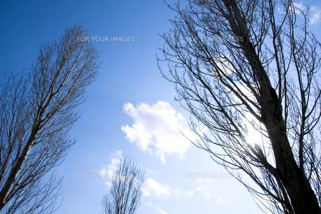 冬枯れのポプラの写真素材 [FYI00046701]