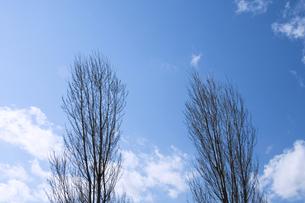 冬枯れのポプラの写真素材 [FYI00046704]