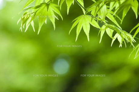 新緑のカエデの写真素材 [FYI00046829]