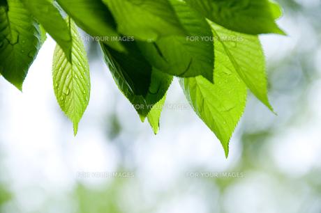 新緑の写真素材 [FYI00046831]