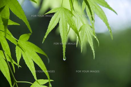 新緑のカエデの写真素材 [FYI00046843]