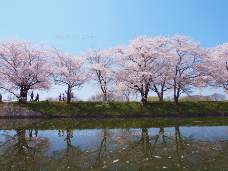 桜の園の写真素材 [FYI00048477]