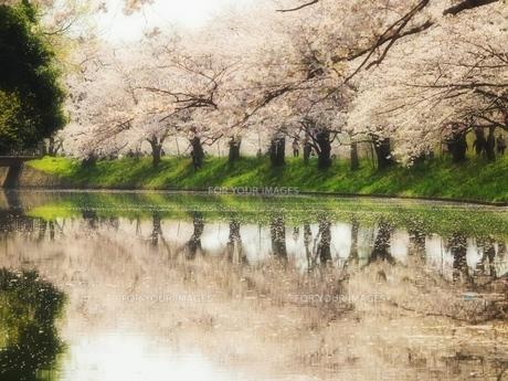 夢うつつに桜咲くの写真素材 [FYI00048487]