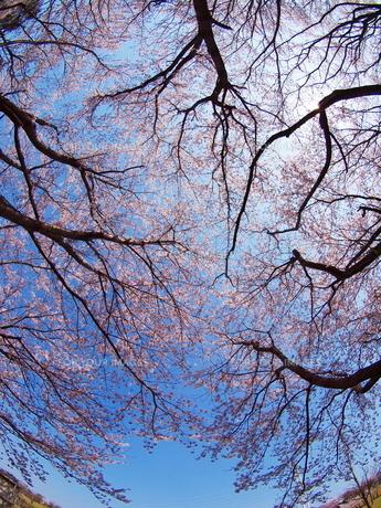 桜空の写真素材 [FYI00048499]