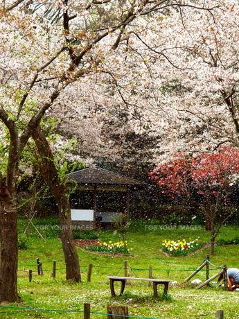 桜降の写真素材 [FYI00048510]