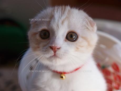 たれ耳子猫のミルクちゃんの写真素材 [FYI00048516]