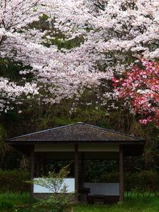 憩桜の素材 [FYI00048518]