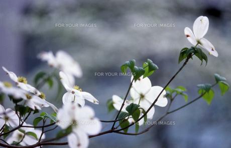 ハナミズキの花の写真素材 [FYI00048529]