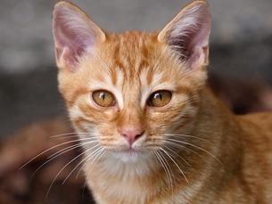 茶トラの子猫の写真素材 [FYI00048614]
