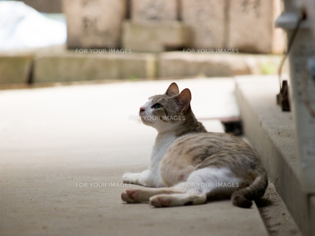 妊娠した猫の写真素材 [FYI00048622]