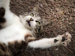 仰向けの猫の写真素材 [FYI00048624]