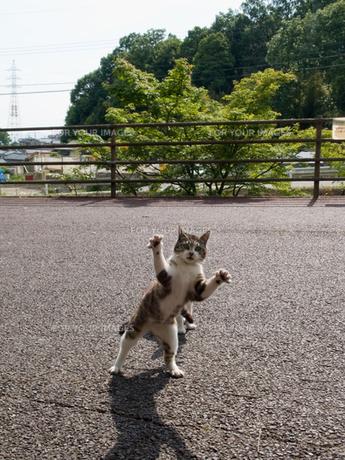 立ち上がる猫の写真素材 [FYI00048628]