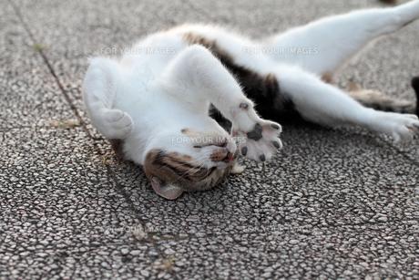 寝返りする猫の写真素材 [FYI00048687]