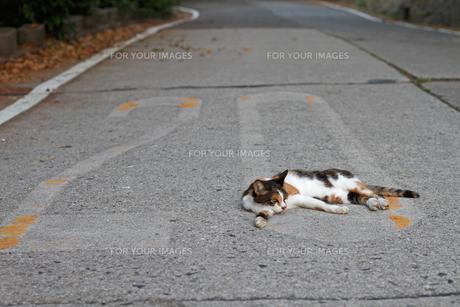 寝そべる三毛猫の写真素材 [FYI00048690]