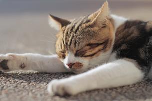 眠る猫の素材 [FYI00048718]