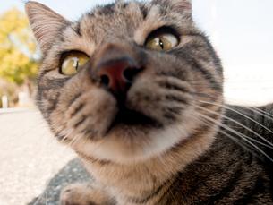 カメラ目線の猫の写真素材 [FYI00048872]