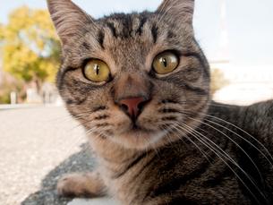 カメラ目線の猫の写真素材 [FYI00048875]