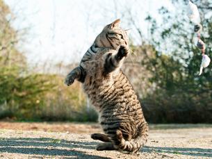ジャンプする猫の写真素材 [FYI00048892]