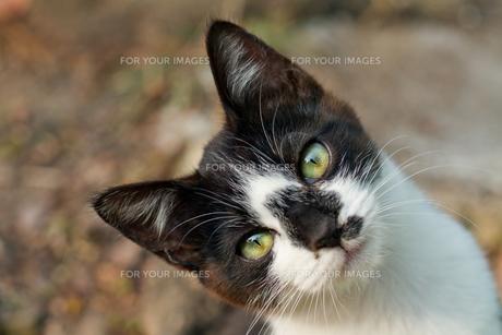 カメラ目線の子猫の写真素材 [FYI00048904]