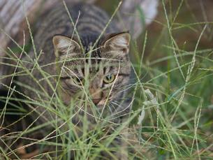草むらの猫の写真素材 [FYI00049060]